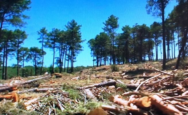 Türkiye salgına rağmen ağaç kesiminde rekor kırdı!