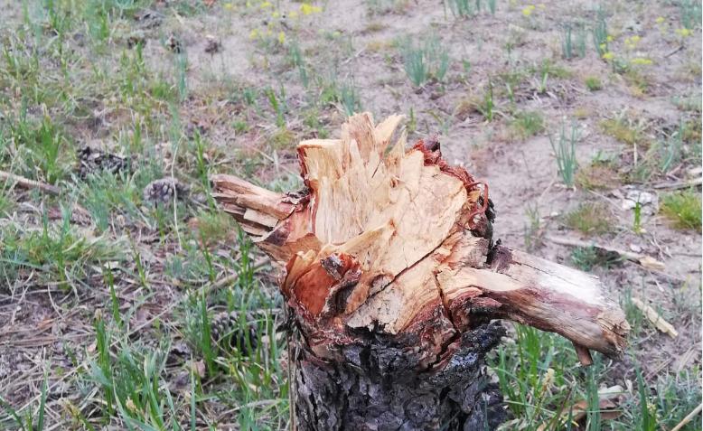 Kapanmada canları sıkılınca ormanda ağaç katliamı yaptılar!