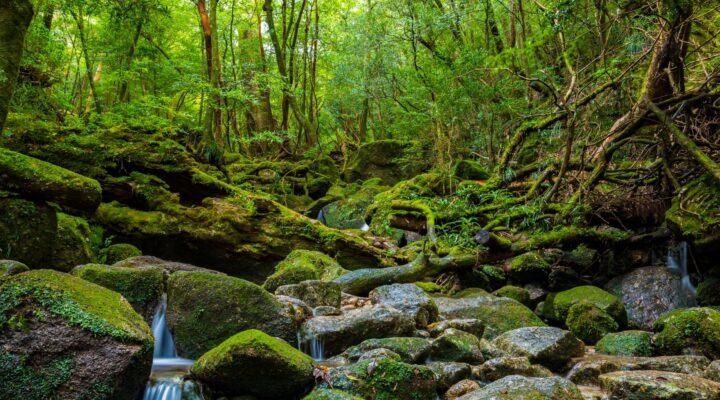 Dünyanın en yaşlı ormanları Yakuşima adası'nda sizi bekliyor..